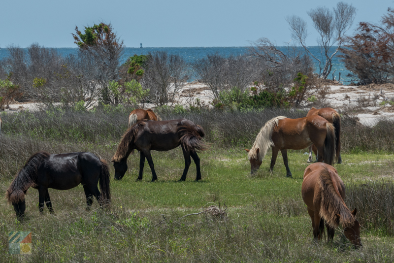 A wild horse tour to the Shackleford Banks from Beaufort NC
