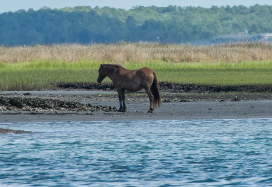 Shackleford Banks horses